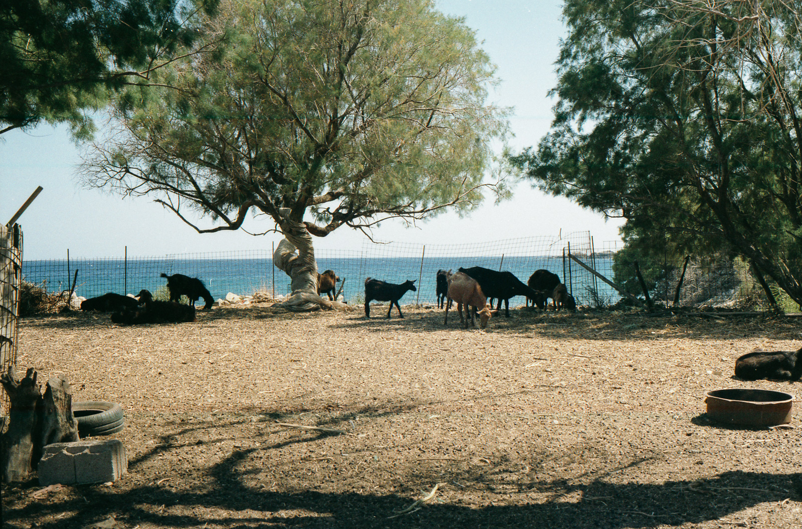 Goats by the ocean